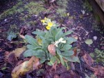 early cowslips in my garden