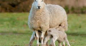lactating ewes