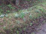 Snowdrops Kildare